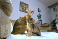 Abyssinian Kittens, Cats And Kittens, Cattery, Cat Supplies, Pet Clothes, S Pic, Cool Cats, Cats Of Instagram