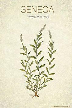 Medicinal Herb Senega Root (Polygala senega)