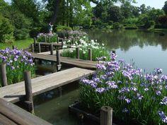 Iris near wood bridge on pond