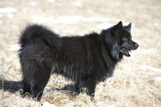 Swedish Lapphund photo | swedish_lapphund_0039