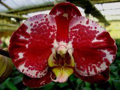 Image from http://www.dorisorchid.com/public_garden/orchidfiles/1696/1696_1404_1412134178.jpg.