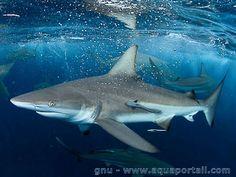 Carcharhinus brevipinna, le requin tisserand