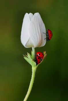 Lady bug lady bug fly away, land on me, good luck you'll bring! Flora Und Fauna, A Bug's Life, Beautiful Bugs, Bugs And Insects, Macro Photography, Photography Flowers, Tiger Photography, Belle Photo, Beautiful Creatures