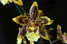 Oncidium Good Day 'Alfie' - Orchid Council of New Zealand Inc.