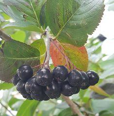 Hekkplanter for enhver smak, her er mine forslag. Fruit, Nature, Naturaleza, Nature Illustration, Off Grid, Natural