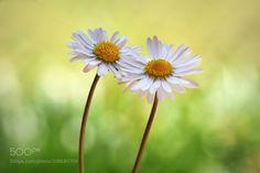 Oh Daisy...I love you...! -