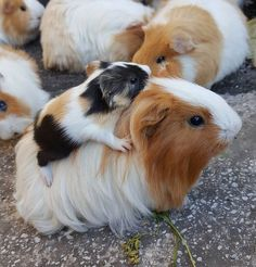 Baby guinea piggy back ride
