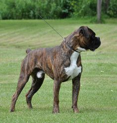 Sabiye von bachbett.  Good working Boxer lines still exist.  Compare this dog to the champions coming out of the 1940's and they could pass for litter mates.