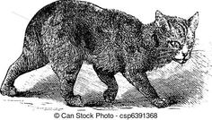 Illustration showing a Manx cat, a breed of cats with a naturally occurring mutation of the spine Manx Cat, Engraving Illustration, Power Animal, Brussels Griffon, Cats For Sale, Super Cute Animals, English Bull Terriers, Cat People, Creature Feature