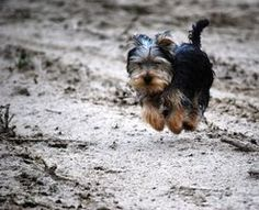 How to Potty Train a Yorkie Puppy thumbnail