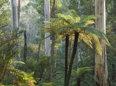 Image result for north queensland tree fern