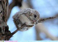 Dwarf Japanese Flying Squirrel