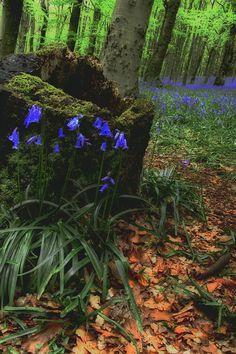 Bluebell Woods The Wenallt