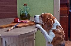 Holiday Training Tip: Countering Counter-Surfing | Karen Pryor Clicker Training