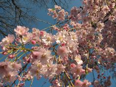 It's Cherry blossom time at The Oaks Victorian Inn