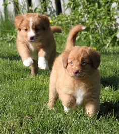 The Nova Scotia Duck Tolling Retriever! So cute and fluffy. Most have white markings on their face, belly and toes. A medium sized bird dog, needs an active lifestyle.