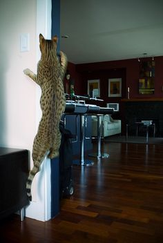 The Ashera Cat - Climbing the wall Ashera Cat, Hypoallergenic Cats, Asian Leopard Cat, Purebred Cats, Cat Site, Mean Cat, Cat Climbing, Rock Climbing, Exotic Cats