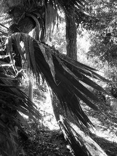 Decayed palm leaf