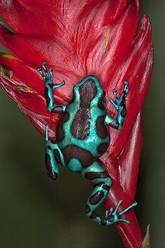 Poison Dart Frogs.  Visit our newest pet frog video here:  https://youtu.be/ilMY41o9s7I  #frog #frogs #petfrog #petfrogs #whatdofrogseat
