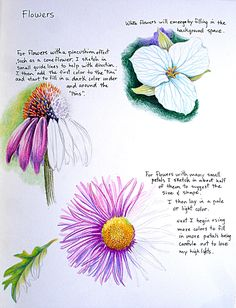 Tim Marsh Nature Artist: Nature Colored Pencil Class at VAAL Lesson Flowere/Plants Flower Art Drawing, Pencil Drawings Of Flowers, Plant Drawing, Painting & Drawing, Art Drawings, Drawing Ideas, Pencil Shading, Flower Drawings, Colored Pencil Tutorial