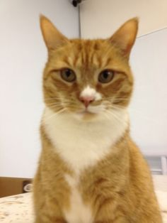 Daisy is an adoptable Domestic Short Hair - orange and white Cat in Belleville, NJ Daisy is a sweet little girl who loves affection  and attention. She is a great conpanion cat!! ... ...Read more about me on @petfinder.com