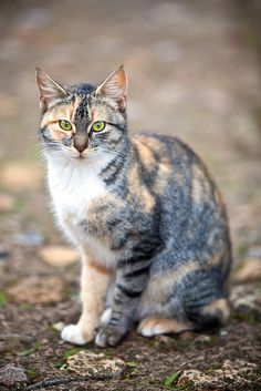 Calico cat by Juan Antonio Capó Alonso, via Flickr.com