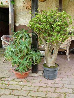 Málem zapomenuté sukulenty (36) Jade Plant Bonsai, Succulent Bonsai, Jade Plants, Terrarium Plants, Cacti And Succulents, Planting Succulents, Patio Plants, Outdoor Plants, Bonsai Trees