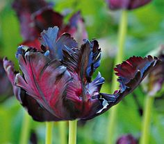 be still my heart.. tulip, black parrot. -- wow, tulips are really sexy flowers…