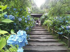 あじさい寺として有名な北鎌倉の明月院では、ヒメアジサイが見頃を迎え、美しいブルーが境内を彩っています。 #鎌倉 #kamakura pic.twitter.com/yw58PMECRo