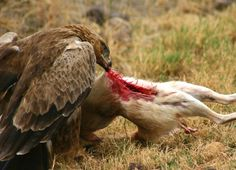 Golden eagle eating a... I am not entirely sure. However, I think it is a rabbit.