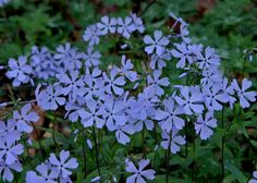 Woodland Phlox, Eastern Blue Phlox (Phlox divaricata) | Native to eastern half of US,  groundcover for full/part shade, moist soil, 1-2'H, attracts: bees, butterflies, hummingbirds, use with other wildflowers eg trillium, dutchmans breeches A Sweet Addition To Any Woodland Garden | North Carolina