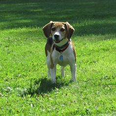 This is Ben, he's a rescue from BFP. (Beagle Freedom Project)
