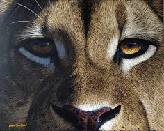 wildlife artist lion | Home / Wildlife Art / David Bucklow / Silent Watch - Lion
