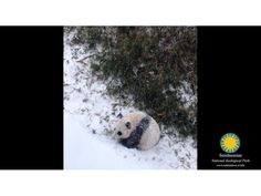 Instant Smile: Panda Cub's First Snow Day at National Zoo