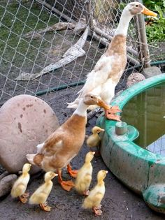 our fawn and white Indian Runner ducks Patrick and Penelope with their 4 day old ducklings
