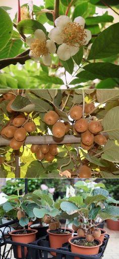 Киви: как вырастить фрукт дома и на даче