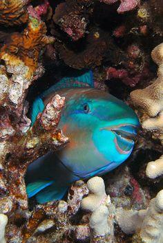 Sleeping parrotfish (night dive) / Keei, Hawaii