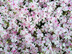 phlox creeping colors- April, ground cover, pinks and purples