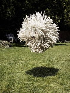 "JUMP FB owner Mark Zuckerberg posted this image of his pet, named Beast, in the middle of a jump. From Beast's FB page: ""I am a Puli, which is a type of Hungarian Sheepdog. I live in Palo Alto with Mark and Cilla. I like cuddling and herding things. Mop Dog, Dog Cat, Funny Dogs, Funny Animals, Cute Animals, Funny Memes, Beautiful Dogs, Animals Beautiful, I Love Dogs"