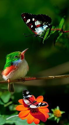 Cuban Tody (Todus multicolor) eying a butterfly. These tiny brightly colored birds, which are related to kingfishers, bee-eaters and rollers, are restricted to Cuba and adjacent islands. Pretty Birds, Beautiful Butterflies, Beautiful Birds, Animals Beautiful, All Birds, Little Birds, Love Birds, Animals And Pets, Baby Animals
