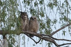 Great Horned owl Mother and Fledgling Roost Together in DuPage County