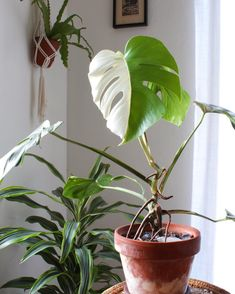 Monstera deliciosa variegata a little slower and harder to grow but worth it. Th… - Modern Indoor Garden, Indoor Plants, Green Leaves, Plant Leaves, Sansevieria Plant, Monstera Deliciosa, Pitcher Plant, Plants Are Friends, Nature Plants