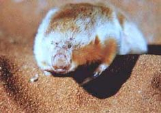 The Marsupial Mole is actually not a mole but a curious little marsupial creature, only about 15 centimetres long. The characteristic of a marsupial is that the female of the species has a pouch to carry its young in. The Marsupial Mole is from the red deserts of Western and South Western Australia where it spends its time burrowing around in the dry flat riverbeds and dunes. The local aboriginals call it Itjaritjari.