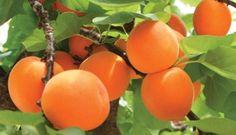 Comment faire pousser un abricotier à partir d'un noyau
