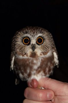 Adorable little Northern Saw Whet Owl