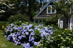 Here is one of the most beautiful Endless Summer® Hydrangea hedges we've seen, and we hope you're as inspired as we were in person!  #hydrangea #garden #CapeCod #landscape #beautiful