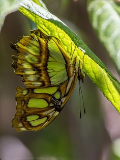 Brown & Green Malachite Butterfly