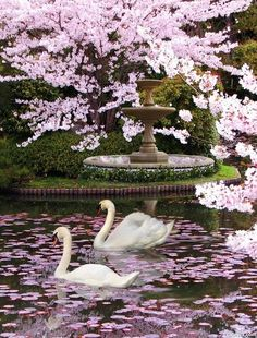 Pair of swans swimming under blossoms.