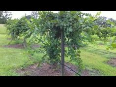 How to root a Muscadine Vine -- How to grow Scuppernong Vine - YouTube