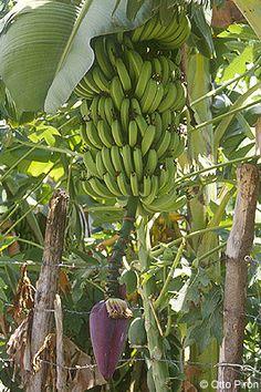 ☀ Guineos - Verduras de Puerto Rico☀